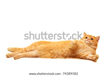 Domestic cat lying isolated on white