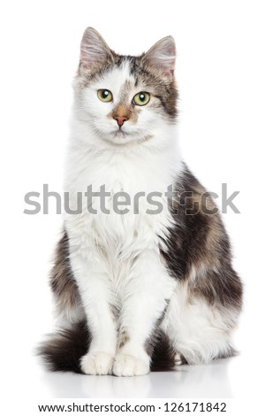 Domestic cat on a white background