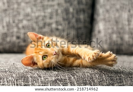 domestic cat playing - stock photo
