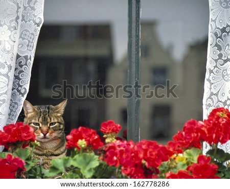 Domestic cat sitting behind a window and geraniums, staring outside.Reflection in the window of typical Dutch houses. - stock photo