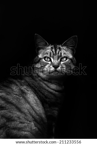 Domestic cat staring at the camera - stock photo