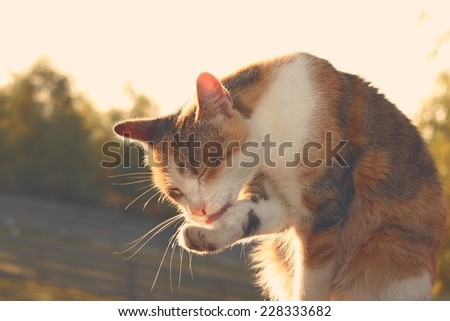 domestic cat washing its foot, image with vintage effect - stock photo