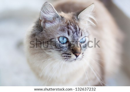 Domestic cat with turquoise blue eyes. - stock photo