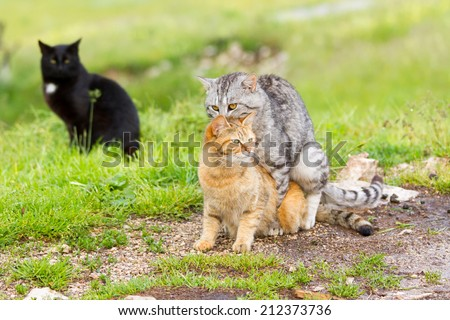 Domestic cats in the act of mating and black cat behind - stock photo