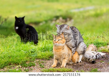 Domestic cats in the act of mating and black cat behind.Love triangle. - stock photo