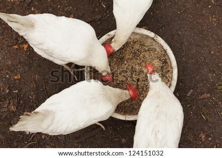 Domestic chickens peck grains - stock photo