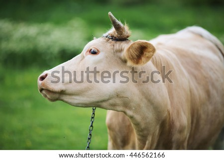 Domestic Cow -looking side