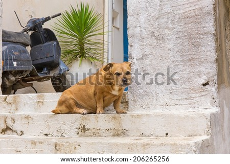 domestic dog guarding the entrance to the house - stock photo