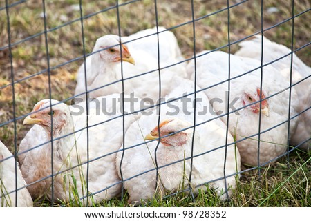 Domestic free range 'white rock' chickens in an enclosure on an organic farm. - stock photo