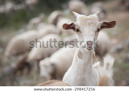 Domestic goat breeding herd. - stock photo