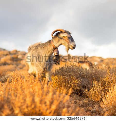 Domestic goat in mountains on Greek Mediterranean island Crete. Dramatic warm light and weather before the sunset. - stock photo