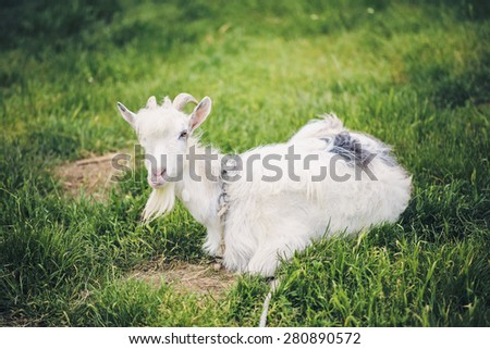domestic goat lying on grass - stock photo