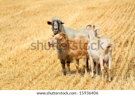 domestic goats on a field
