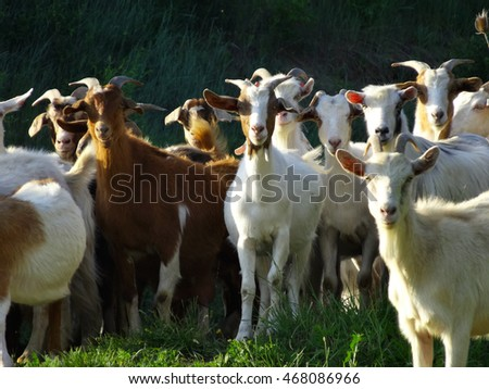 domestic goats on field