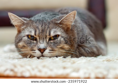 domestic gray tabby cat lies and looks away