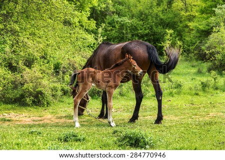 Domestic horse grazing in a mountain valley in the pasture on a background of Crimean mountains. Foal with his mother in the pasture fed with milk. Kumiss. - stock photo