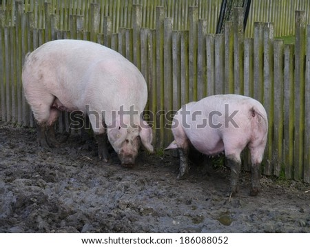Domestic pigs burrowing  in the mud at a childrens farm - stock photo