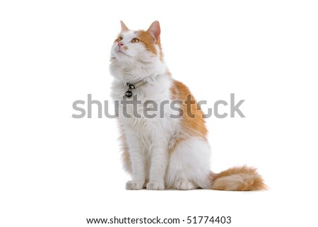 domestic red and white  cat isolated on a white background