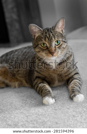 Domestic Tabby Cat on Carpet - greyed background - stock photo