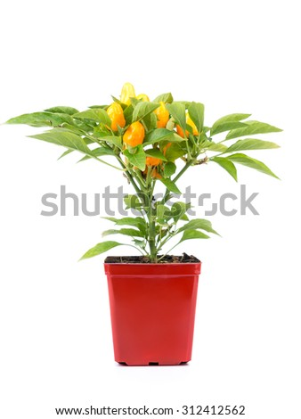 Domestically cultivated orange peppers in red pot shot on white background - stock photo