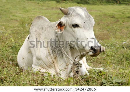 Domesticated Brahman cow rest as it awaits to be taken for slaughter - stock photo