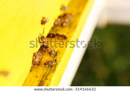 Domesticated honeybees in flight, returning to their beehive, bringing nectar for organic honey and food for bee colony and queen bee. Healthy, organic nutrition and natural resources concepts.  - stock photo