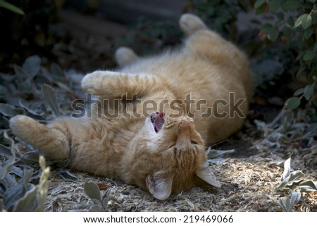 Domesticated orange tabby cat rolling around in the dirt outside yawning, looks like he's laughing - stock photo