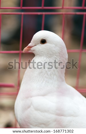 Domesticated pigeon, taken in Chinese pet market