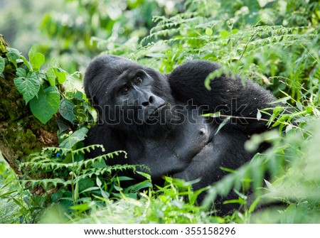 Dominant male mountain gorilla in the grass. Uganda. Bwindi Impenetrable Forest National Park.