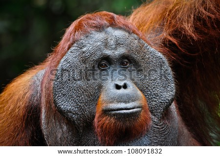 Dominant male orangutan with developed cheek pads signifying its dominant status. He is looking at the camera. The background is dark and provides room for copy if required. - stock photo