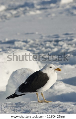 Dominican gulls sitting on an ice floe in the Antarctic winter.