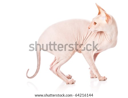 Don Sphinx (DONSPHINX) cat. Isolated on white background - stock photo
