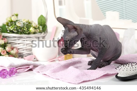 Don Sphinx kitty cat licking her paws while sitting on the table with some toiletries indoors - stock photo