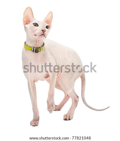 Don Sphynx (DON SPHYNX) cat. Isolated on white background - stock photo