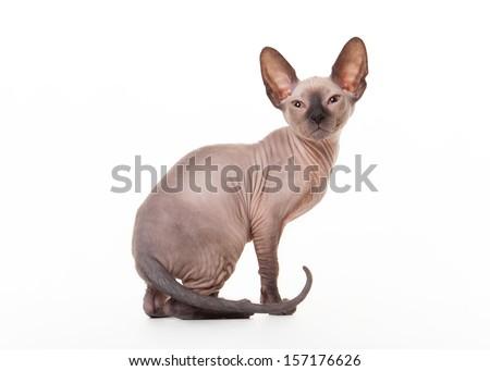 Don sphynx kitten on white background - stock photo