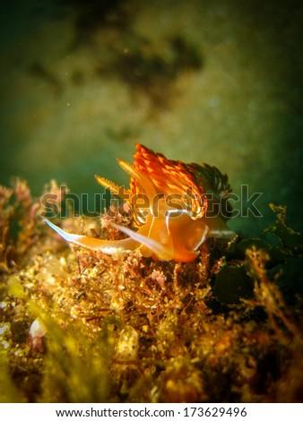 Dondice banyulensis (Nudibranch) - stock photo