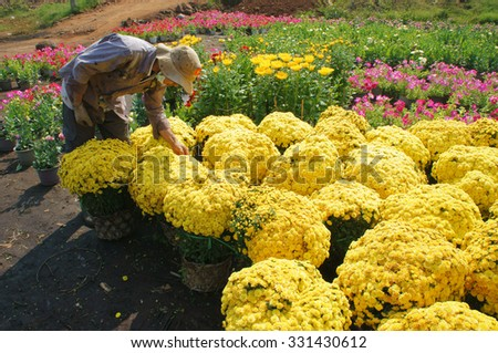 DONG NAI, VIET NAM- FEB 13: Group of Asian farmer harvest chrysanthemum flower on agriculture farmland for spring crop, trader purchase and transport by truck, Dongnai, Vietnam, Feb 13, 2015