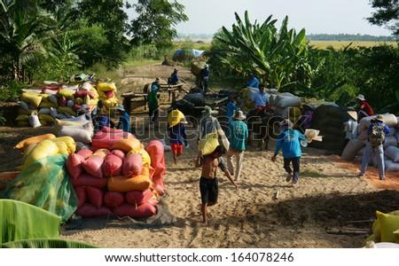 DONG THAP, VIET NAM- NOVEMBER 12: Finish harvest, trader buy rice of farmer, paddy grain let in rice sack & arrange in pile, porter carry rice sack on shoulder, Dong Thap, Viet Nam, November 12, 2013