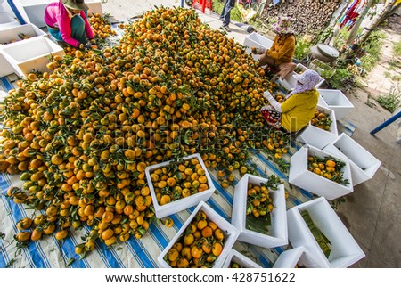 DONG THAP, VIETNAM - FEB 14, 2015 - Worker is harvesting tangerine forest at Lai Vung, Dong Thap Provice