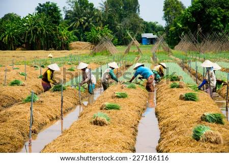 DONGTHAP, VIETNAM, OCT 11: Farmers grow onion in a field on Oct 11, 2014 in Dongthap, Vietnam. Dong Thap is a province near Saigon, belong to Mekong delta region in Vietnam.