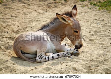 donkey baby - stock photo
