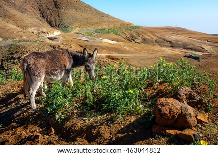 Donkey eating thistle in mountains of Santo Antao, Cape Verde, Africa