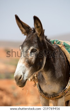 Donkey, farm animal in the Moroccan countryside of Sidi Ifni. - stock photo