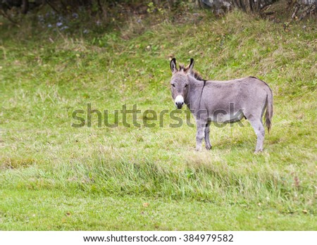 Donkey forages on an open field