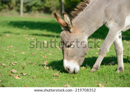 donkey grazing on the pasture - stock photo