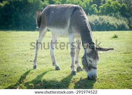 donkey in field - stock photo
