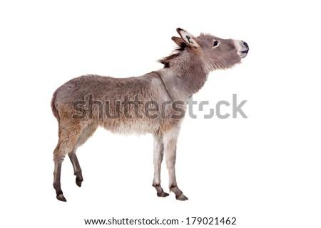 Donkey isolated on the white background - stock photo