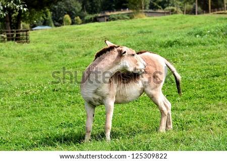 Donkey looks wonder in the zoo - stock photo