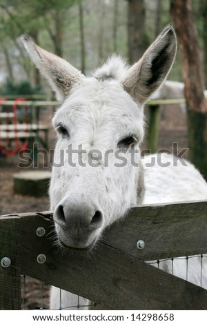 Donkey Open Mouth Showing Teeth Gums Stock Photo 29565877