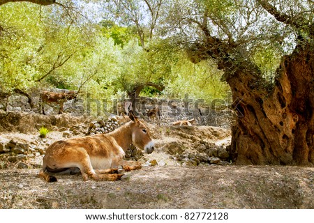 Donkey mule sitting in Mediterranean olive tree shade in Mallorca island - stock photo
